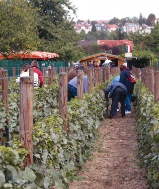 Le vignoble de la Commune libre de Saint-Martin