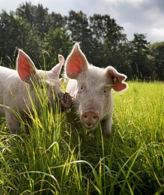Porcs et sangliers